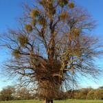 Mistletoe in the winter tree