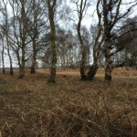 Silver birch trees at Cavenham Heath